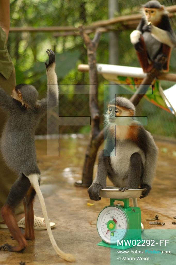 MW02292-FF | Vietnam | Provinz Ninh Binh | Reportage: Endangered Primate Rescue Center | Aufzuchtstation für Affenbabys. Hier werden die Rotgeschenkligen Kleideraffen einmal am Tag gewogen. Der Deutsche Tilo Nadler leitet das Rettungszentrum für gefährdete Primaten im Cuc-Phuong-Nationalpark.   ** Feindaten bitte anfragen bei Mario Weigt Photography, info@asia-stories.com **