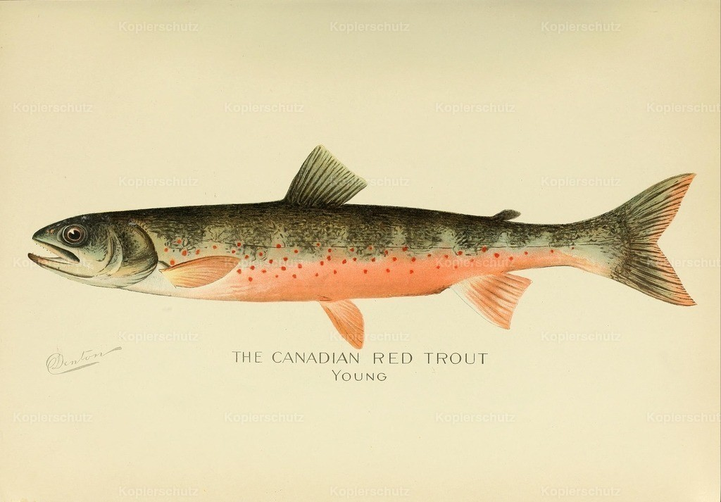 Denton_ S.F. (1856-1907) - Commissioners of Fisheries NY 1899 - Canadian Red Trout young