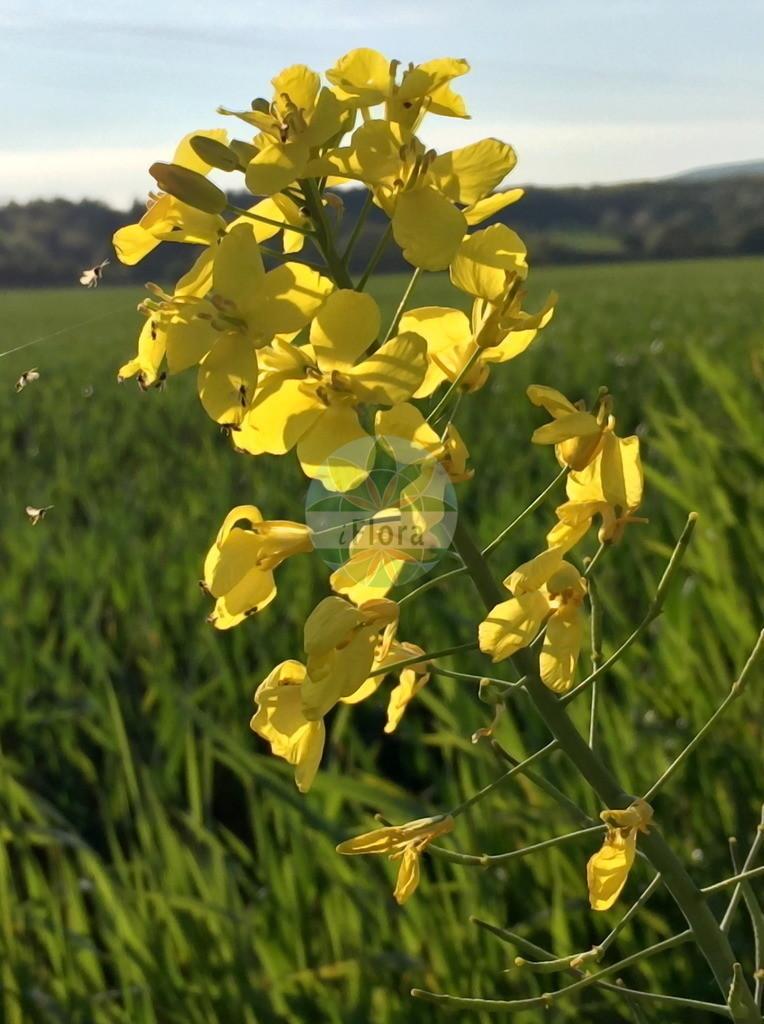 Brassica napus (Raps - Rape) | Foto von Brassica napus (Raps - Rape). Das Bild zeigt Bluete. Das Foto wurde in Hessen, Deutschland, Oberrheinisches Tiefland und Rhein-Main-Ebene, Untermainebene aufgenommen. ---- Photo of Brassica napus (Raps - Rape).The image is showing flower.The picture was taken in Hesse, Germany, Oberrheinisches Tiefland and Rhein-Main-Ebene, Untermainebene.