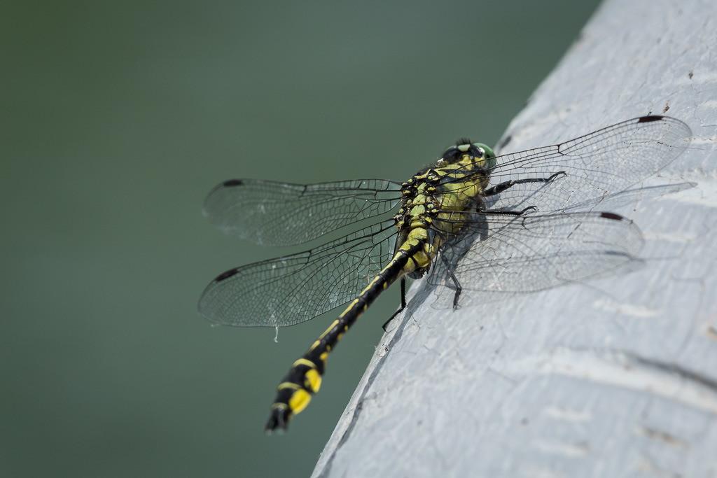 Libelle in Gelb