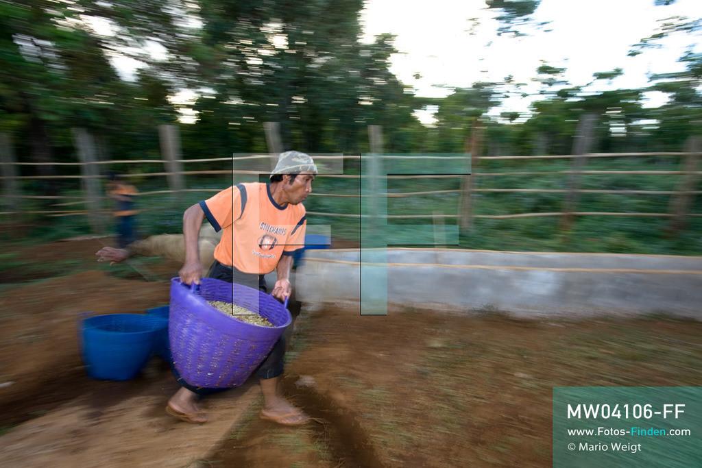 MW04106-FF | Laos | Paksong | Reportage: Kaffeeproduktion in Laos | Mitarbeiter waschen die Kaffeebohnen mehrmals. In den Plantagen auf dem Bolaven-Plateau werden die Kaffeesorten Robusta und Arabica angebaut.  ** Feindaten bitte anfragen bei Mario Weigt Photography, info@asia-stories.com **