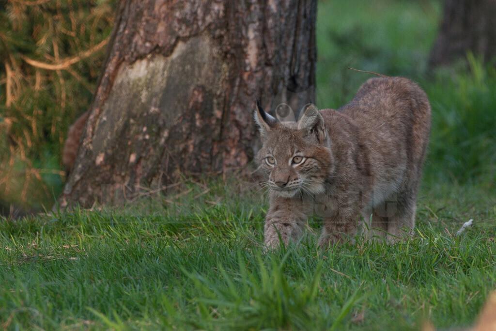 20071013_17461510588 Kopie   Die Luchse sind eine Gattung in der Familie der Katzen. Alle vier heute lebenden Arten kommen auf der Nordhalbkugel vor: Der Eurasische Luchs ist in weiten Teilen Europas und Asiens verbreitet.