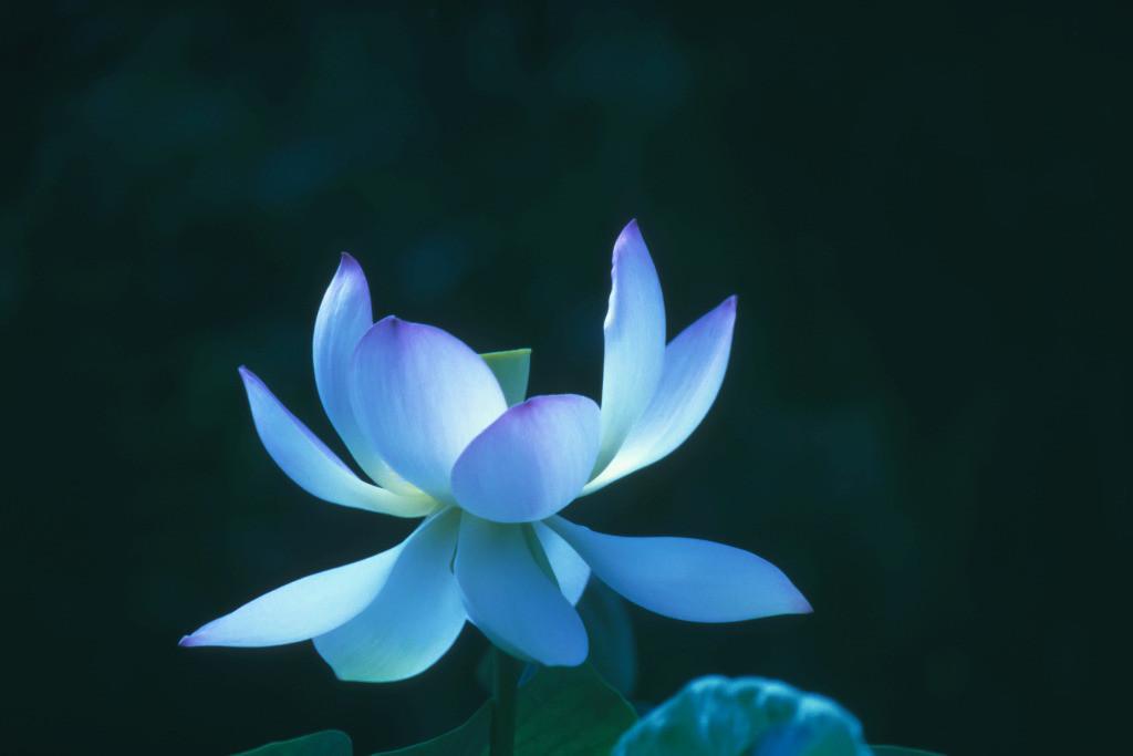 Best. Nr. weisheit09   Indischer Lotus