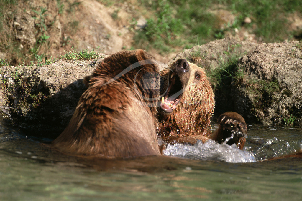 Grizzly_8-40x60