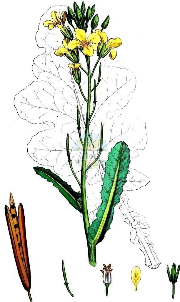 Brassica oleracea (Gemuese-Kohl - Cabbage)   Historische Abbildung von Brassica oleracea (Gemuese-Kohl - Cabbage). Das Bild zeigt Blatt, Bluete, Frucht und Same. ---- Historical Drawing of Brassica oleracea (Gemuese-Kohl - Cabbage).The image is showing leaf, flower, fruit and seed.