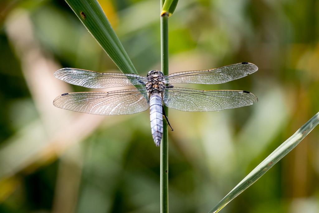 Libelle ausgebreitete Flügel