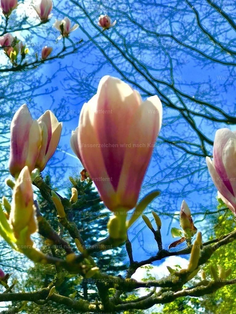 Magnolia | Tulpen - Magnolien, Magnolia,
