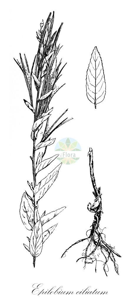 Historical drawing of Epilobium ciliatum (American Willowherb)   Historical drawing of Epilobium ciliatum (American Willowherb) showing leaf, flower, fruit, seed