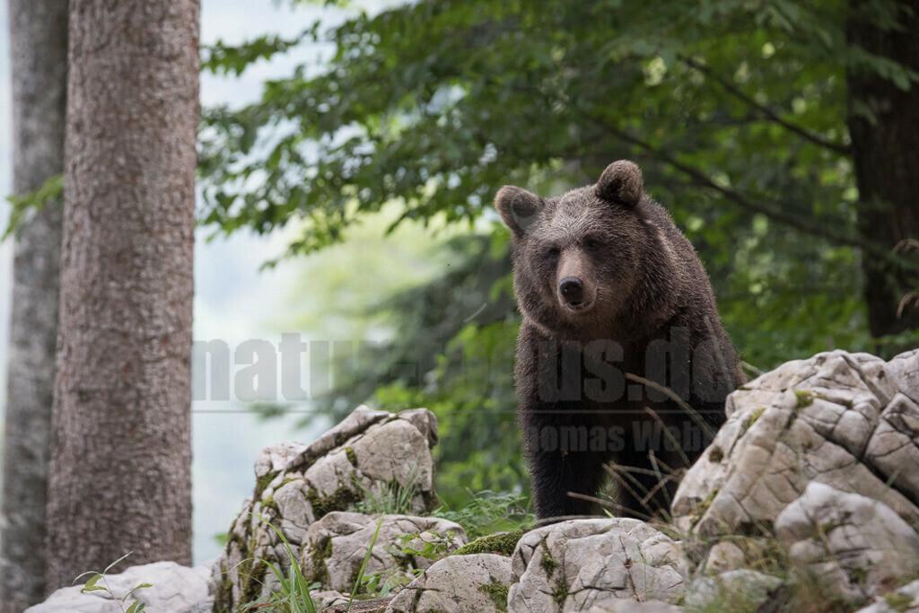 663A1207 | Der Braunbär gehört zu den Säugetieren aus der Familie der Bären. In Eurasien und Nordamerika kommt er in mehreren Unterarten vor, darunter Europäischer Braunbär, Grizzlybär und Kodiakbär. Als eines der größten an Land lebenden Raubtiere der Erde spielt er in zahlreichen Mythen und Sagen eine wichtige Rolle.