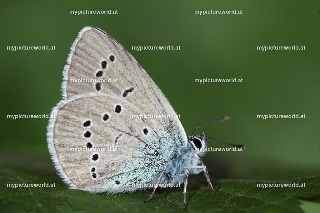 Violetter Waldbläuling-001