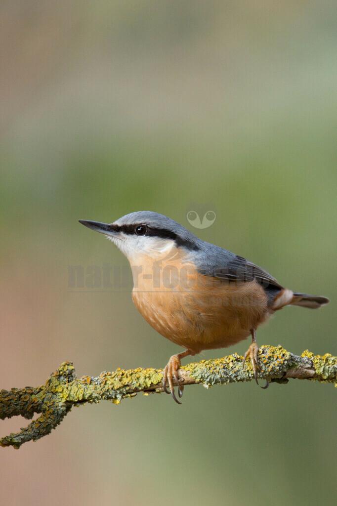 20140209_124215 | Der Kleiber ist ein kleiner, kompakter Vogel, der geschickt an Baumstämmen und Ästen auf und ab klettern kann. Hier sucht er nach Insekten, die sich in den Ritzen der Borke verstecken oder auf Blättern zu finden sind. Er kann sogar kopfabwärts klettern.