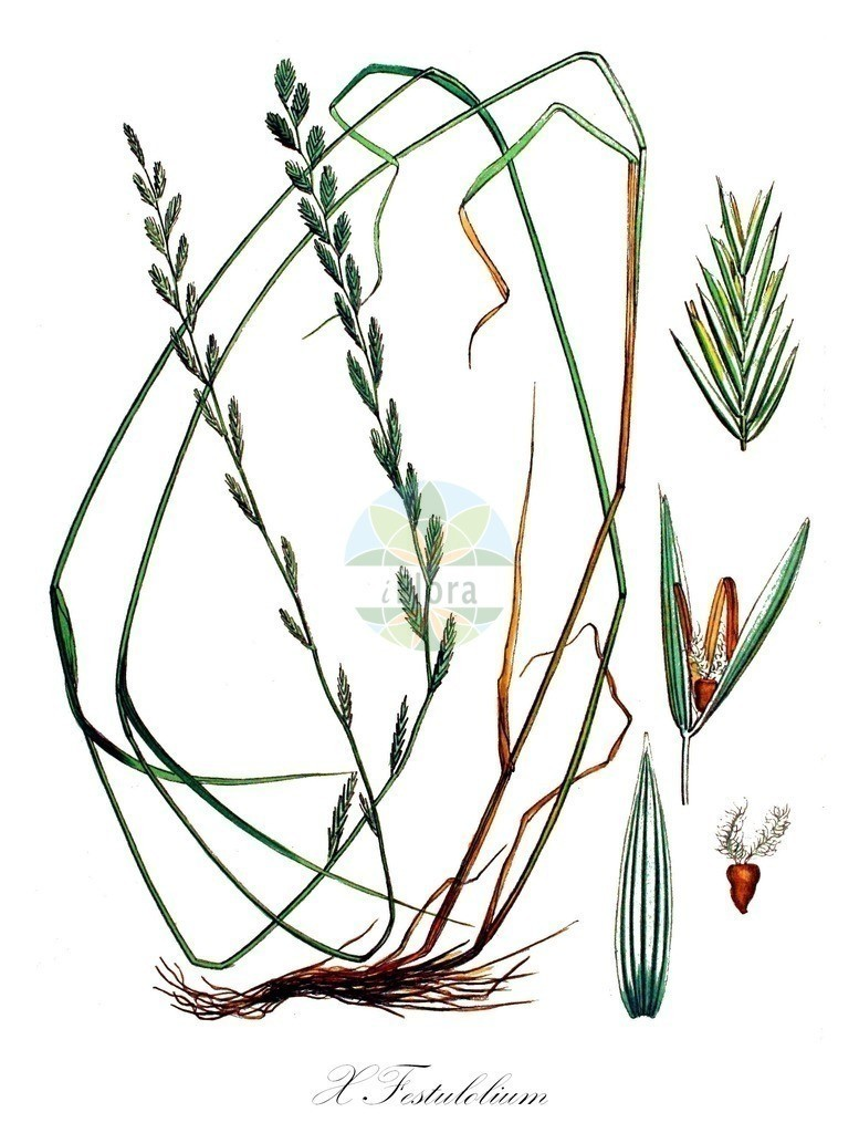 Historical drawing of X Festulolium (Festulolium) | Historical drawing of X Festulolium (Festulolium) showing leaf, flower, fruit, seed