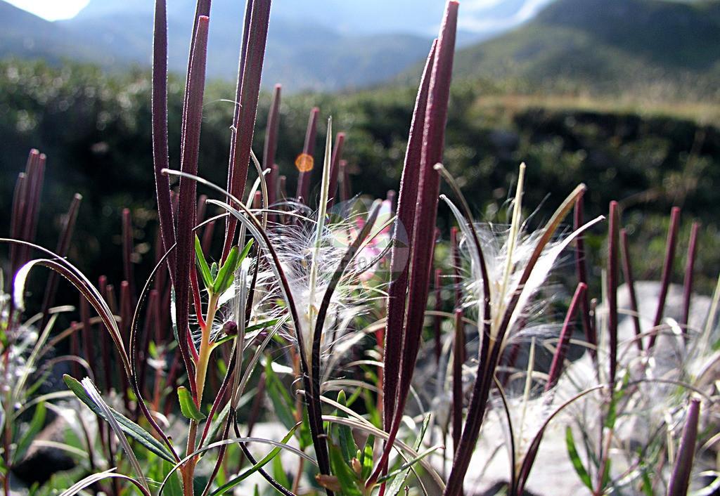 Epilobium fleischeri (Kies-Weidenroeschen - Alpine Fireweed)   Foto von Epilobium fleischeri (Kies-Weidenroeschen - Alpine Fireweed). Das Foto wurde in Dischmatal, Davos, Graubuenden, Schweiz, Alpen aufgenommen. ---- Photo of Epilobium fleischeri (Kies-Weidenroeschen - Alpine Fireweed).The picture was taken in Dischmatal, Davos, Grisons, Switzerland, Alps.
