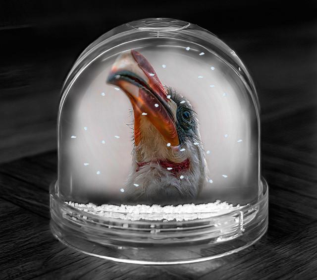 ROTSCHNABELTOKO   Kenia   Der Vogel aus dem Film