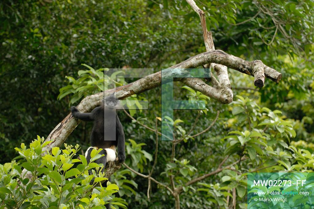 MW02273-FF | Vietnam | Provinz Ninh Binh | Reportage: Endangered Primate Rescue Center | Ein Delacour-Langur (Affe mit weißen Shorts). Der Deutsche Tilo Nadler leitet das Rettungszentrum für gefährdete Primaten im Cuc-Phuong-Nationalpark.   ** Feindaten bitte anfragen bei Mario Weigt Photography, info@asia-stories.com **