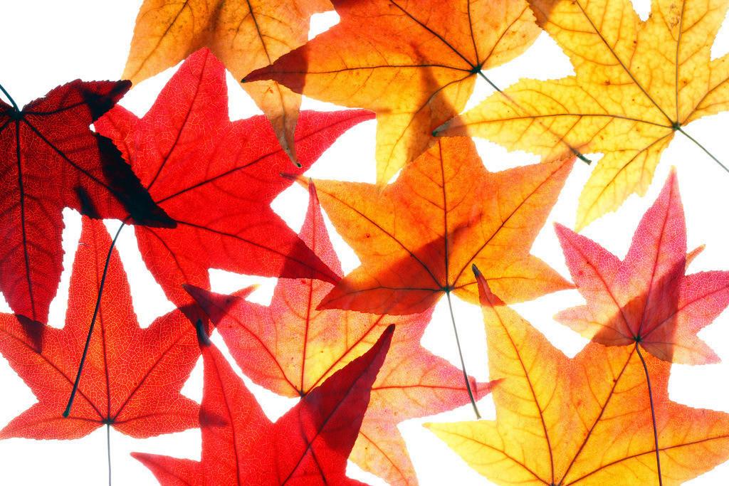 JT-120220-013 | Blätter des Liquidamber, Gattung der Amberbäume, (Liquidambar styraciflua), herbstliche Färbung,