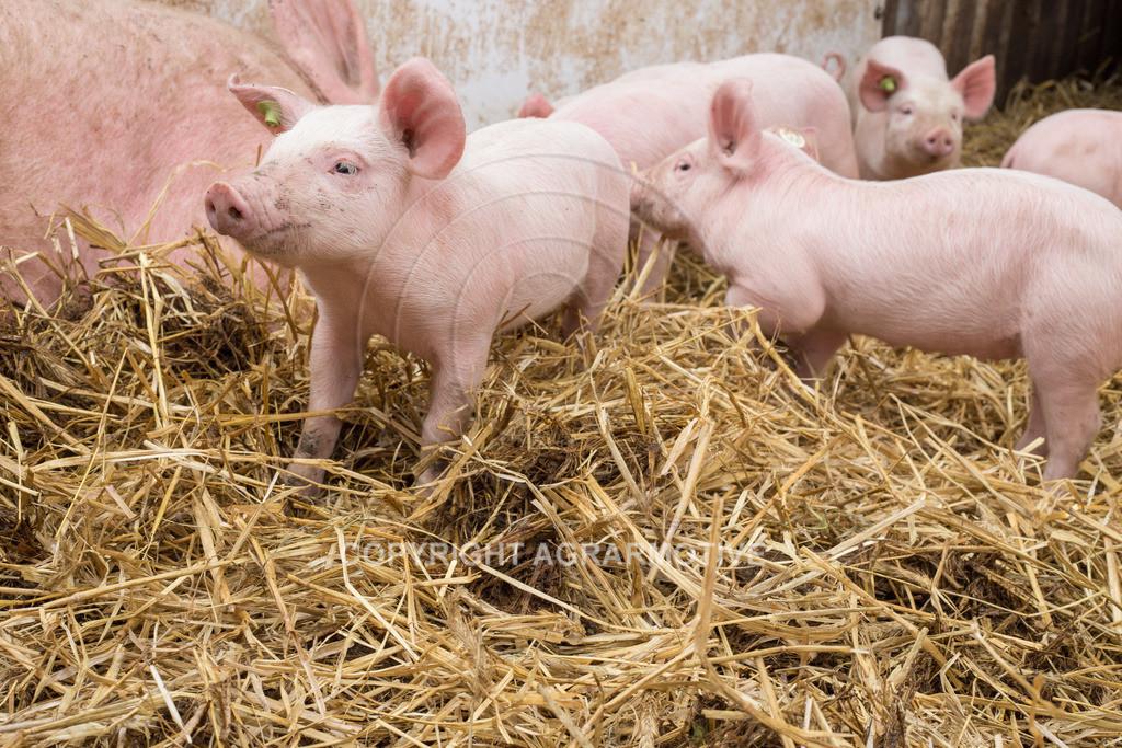 20160705-IMG_7941 | glückliche Schweine