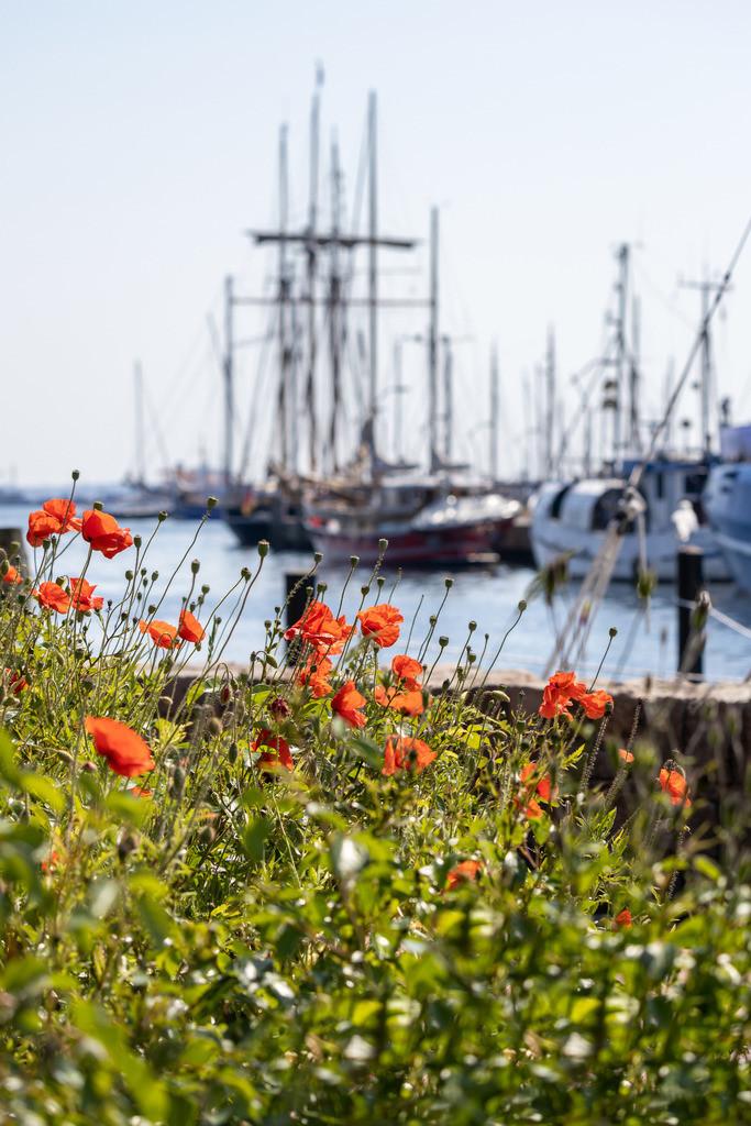 Hafen in Eckernförde   Mohnblumen am Hafen