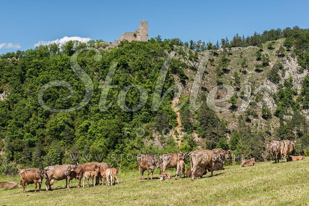 Schlossruine Waldenburg (BL) | Im Hintergrund die Schlossruine Waldenburg, im Vordergrund Kühe auf der Weide, Waldenburg im Kanton Baselland.