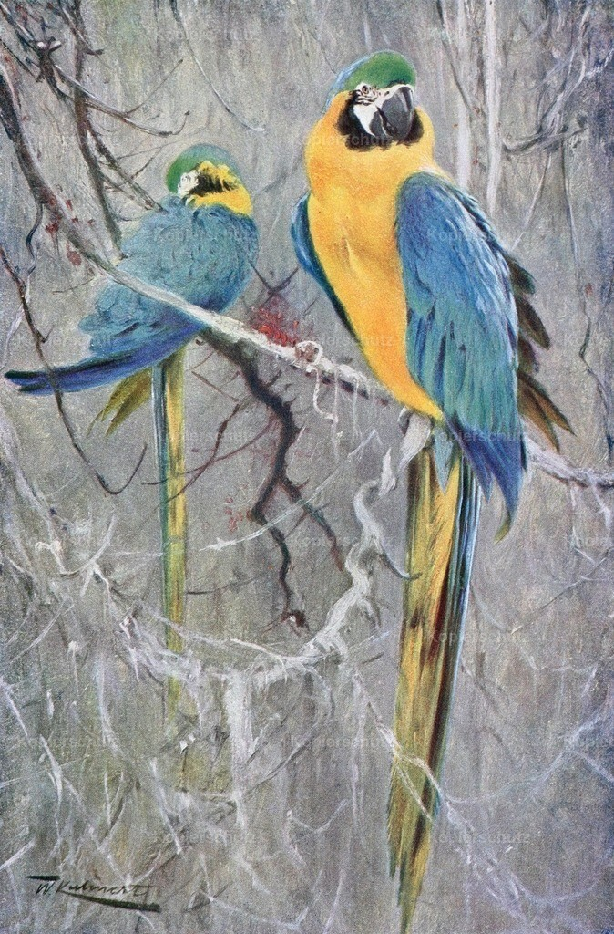 Kuhnert_ F.W. (1865-1926) - Wild Life of the World 1916 - Blue Macaw