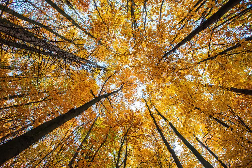 JT-121118-087 | Herbstlicher Wald, Buchen Bäume,