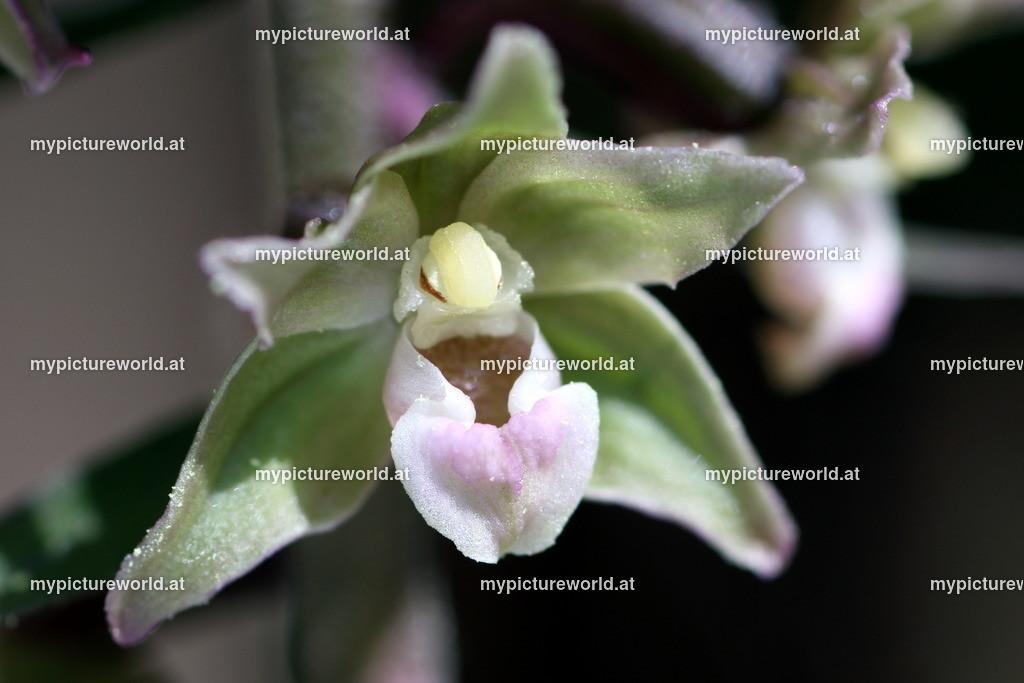 Violette Stendelwurz-002