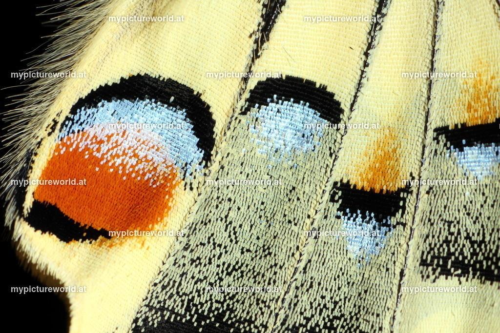 Papilio machaon-038