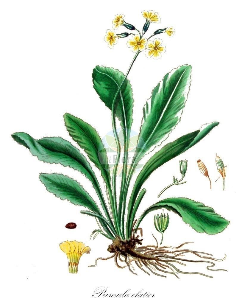 Historical drawing of Primula elatior (Oxlip) | Historical drawing of Primula elatior (Oxlip) showing leaf, flower, fruit, seed