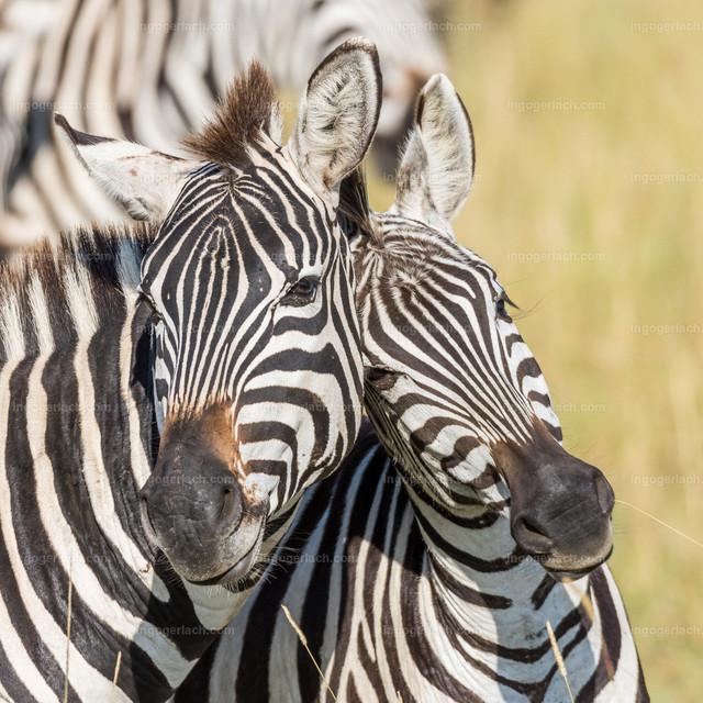 Lovely Zebras
