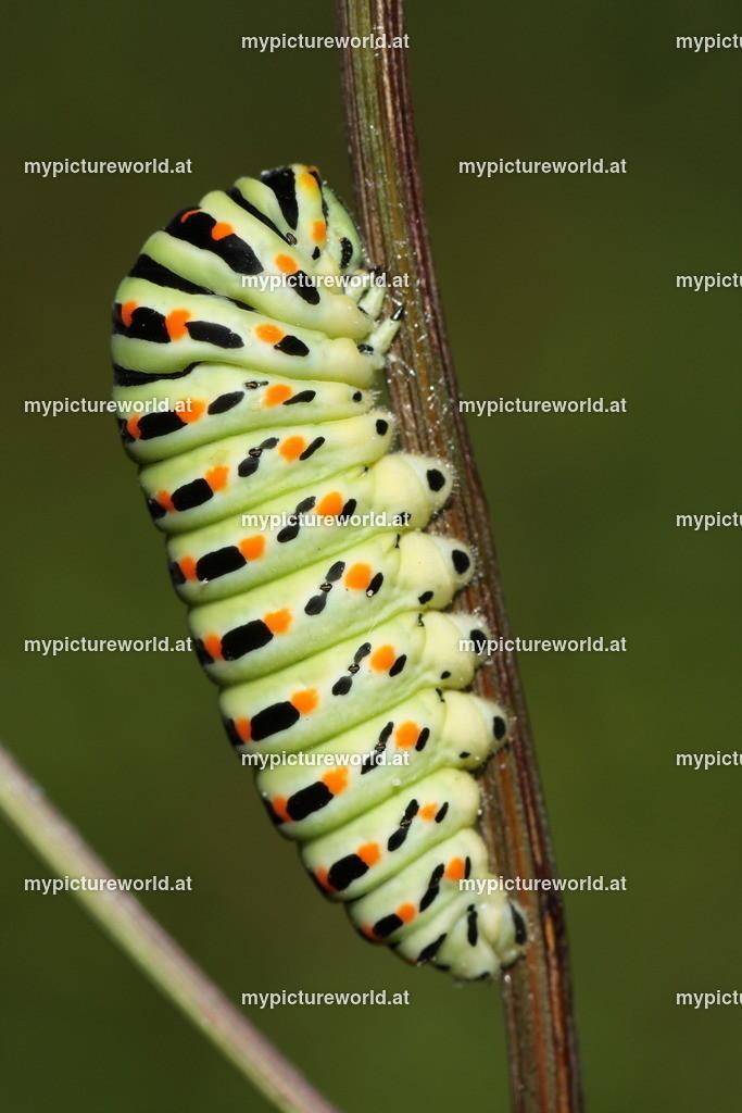 Papilio machaon-005