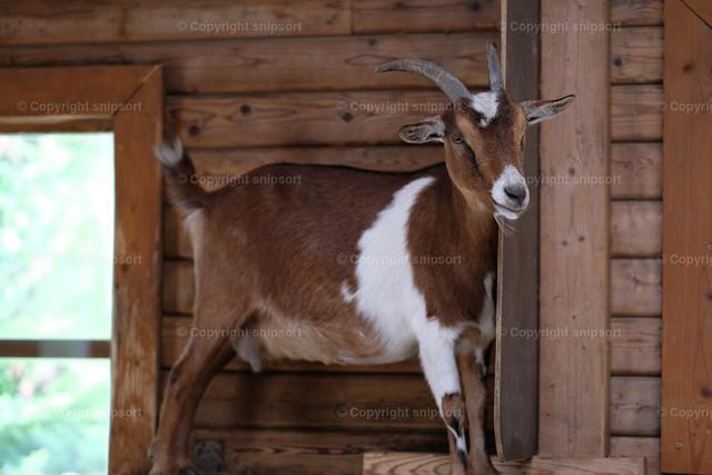 Kletternde Ziege | Eine im Holzblockhaus vor dem Fenster kletternde Ziege