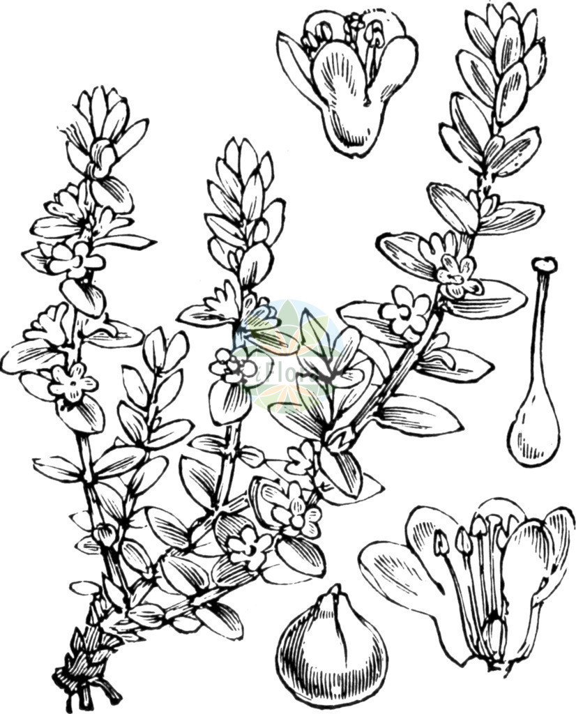 Glaux maritima (Strand-Milchkraut - Sea-milkwort) | Historische Abbildung von Glaux maritima (Strand-Milchkraut - Sea-milkwort). Das Bild zeigt Blatt, Bluete, Frucht und Same. ---- Historical Drawing of Glaux maritima (Strand-Milchkraut - Sea-milkwort).The image is showing leaf, flower, fruit and seed.