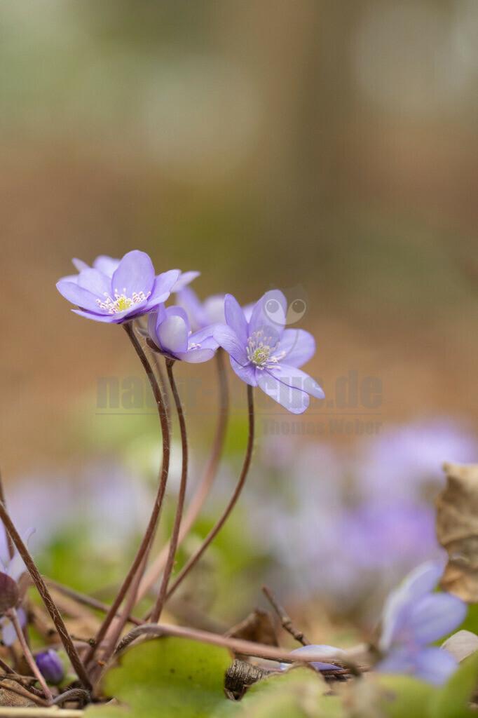 20200314-663A7369   Das Leberblümchen, genauer Gewöhnliches Leberblümchen, auch Dreilappiges Leberblümchen genannt, ist eine Pflanzenart innerhalb der Familie der Hahnenfußgewächse. Der Gattungsname Hepatica wie auch der deutsche Trivialname beziehen sich auf die Gestalt der Laubblätter.