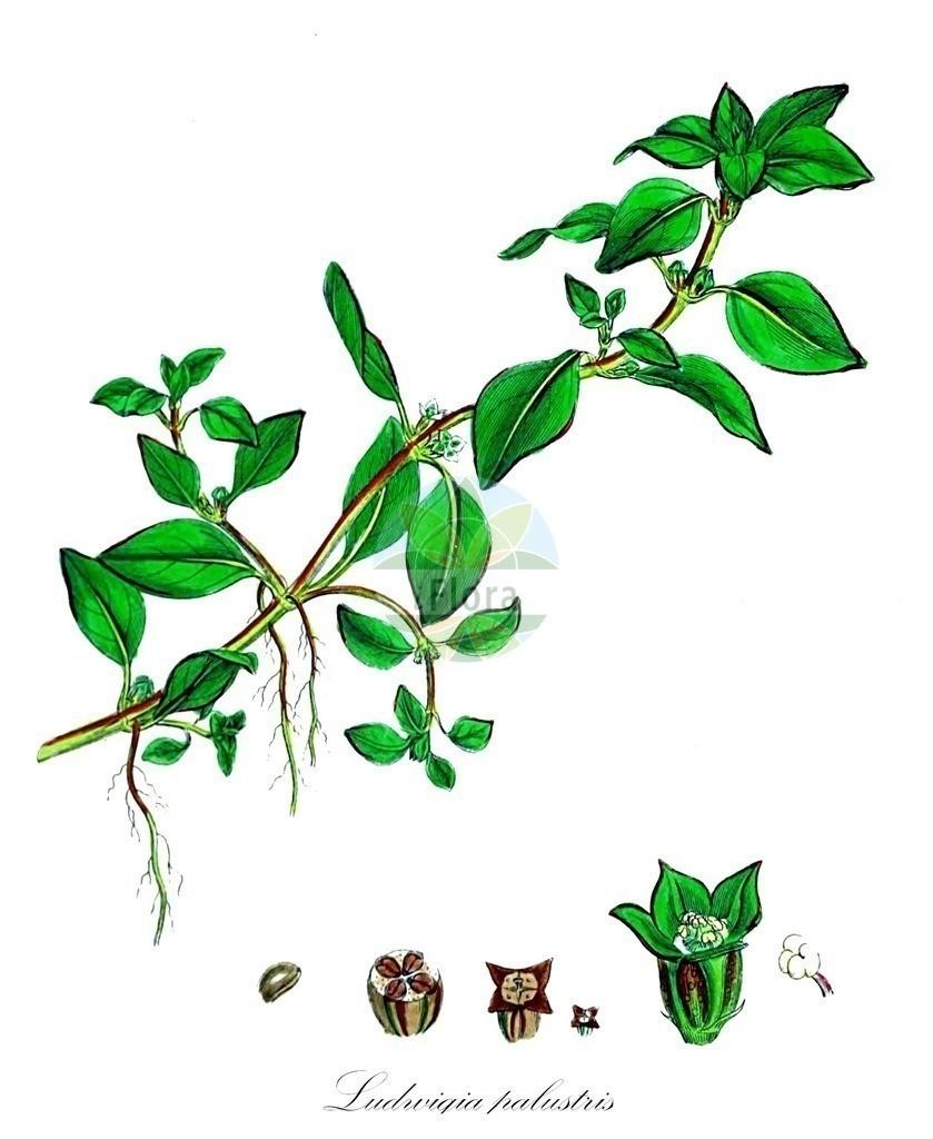 Historical drawing of Ludwigia palustris (Hampshire-purslane) | Historical drawing of Ludwigia palustris (Hampshire-purslane) showing leaf, flower, fruit, seed