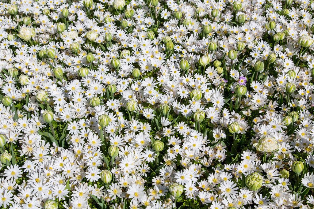 JT-040831-1003.JPG | Gänsebluemchen in einer Wiese. (Bellis perennis)