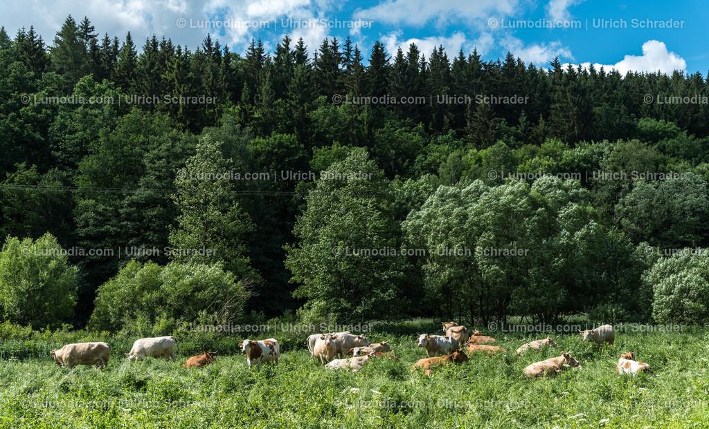 10049-10101 - Kühe auf der Weide   max. Bildgröße A3   300dpi