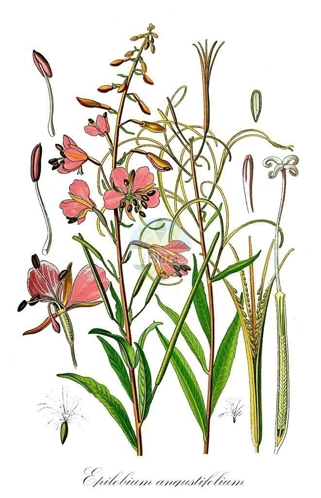 Historical drawing of Epilobium angustifolium (Rosebay Willowherb)   Historical drawing of Epilobium angustifolium (Rosebay Willowherb) showing leaf, flower, fruit, seed