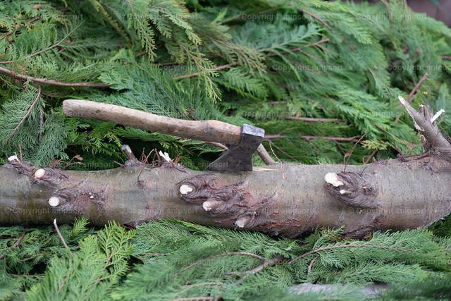 Eine Axt steckt im Stamm eines gefallenen Baums | Holzfäller ließ die Axt im Stamm stecken.