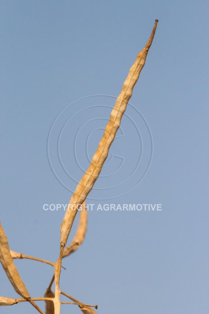 210706-181042-4652   reife Rapsschoten - Agrarmotive Bildagentur