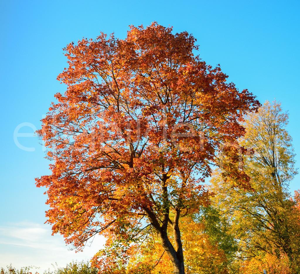 Herbstlaub | Goldener Oktober in der Vulkaneifel