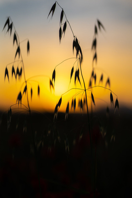 Gras im Sonnenuntergang Mallorca
