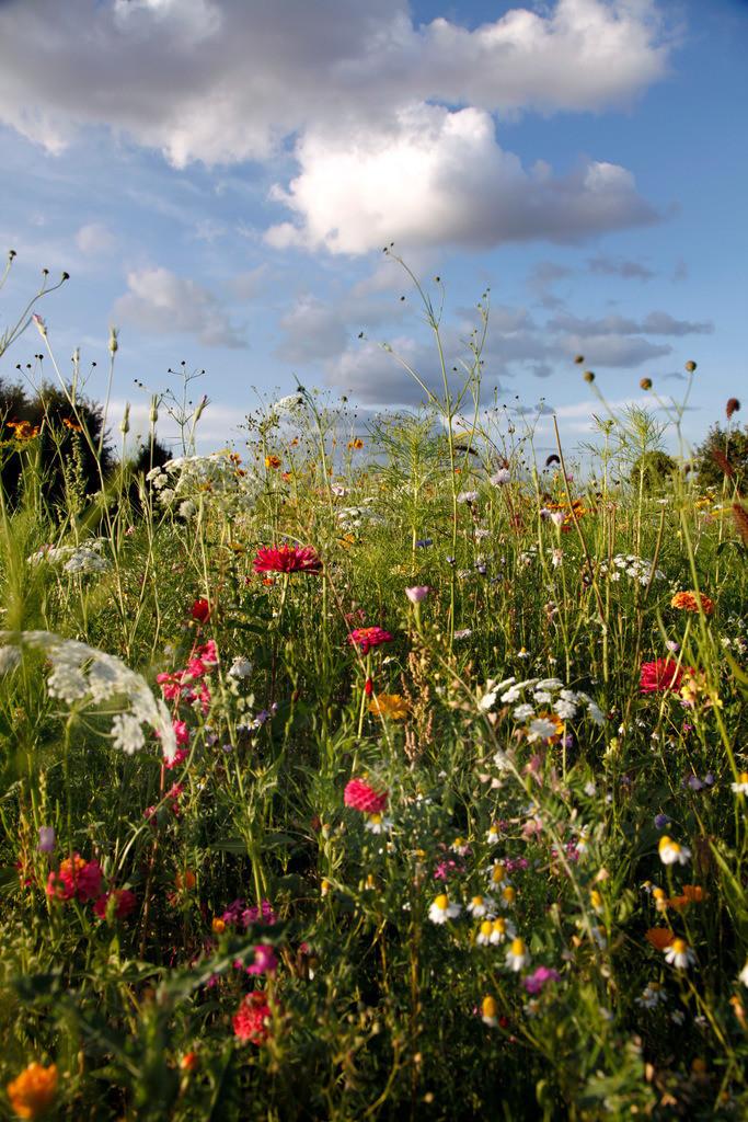 Wildblumen   Blumenwiese mit vielen Wildblumen in voller Pracht.