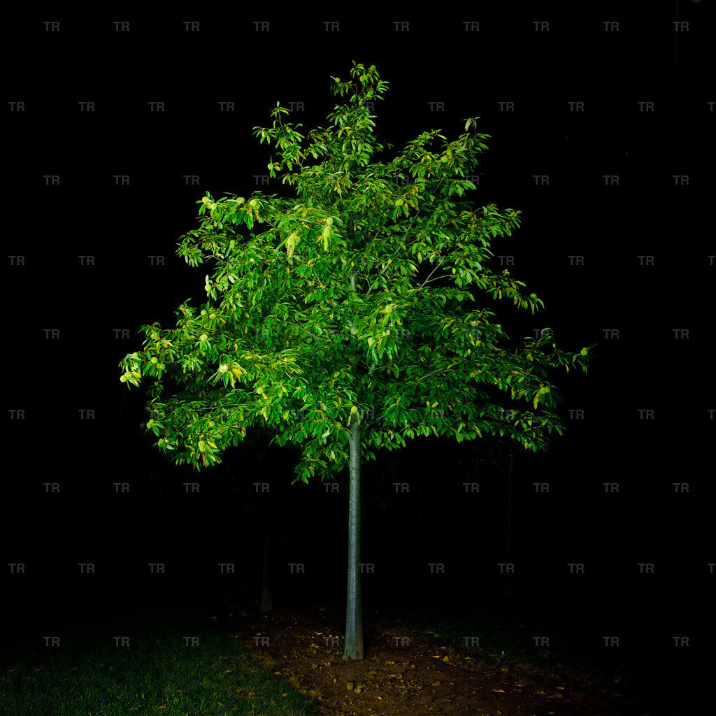 Castanea sativa-night2014.1