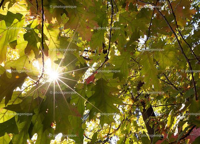 Sonnenstern durch Eichenlaub | ein Sonnenstern blitzt durch Eichenlaub bei Tageslicht