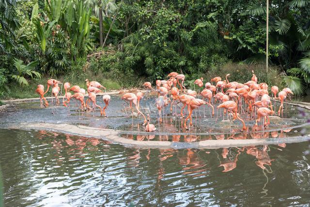 Singapur Jurong Bird Park rosa Flamingos   SGP, Singapur, 20.02.2017, Singapur Jurong Bird Park rosa Flamingos © 2017 Christoph Hermann, Bild-Kunst Urheber 707707, Gartenstraße 25, 70794 Filderstadt, 0711/6365685;   www.hermann-foto-design.de ; Contact: E-Mail ch@hermann-foto-design.de, fon: +49 711 636 56 85