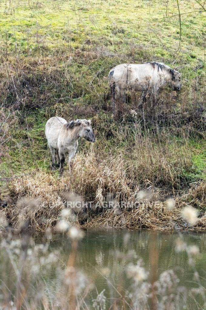 20210110-DSCF5571 | Konik Wildpferde werden in Naturschutzgebiet Emsaue zur Landschaftspflege eingesetzt