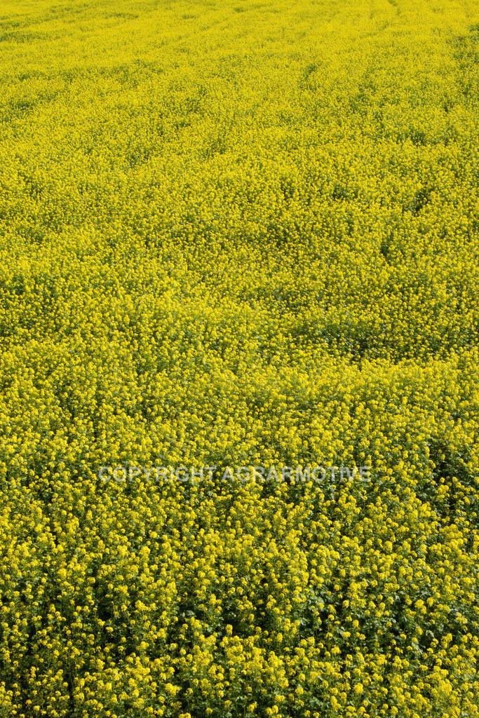 20D_IMG_2574-05 | Senf als Zwischenfrucht im Herbst - AGRARBILDER