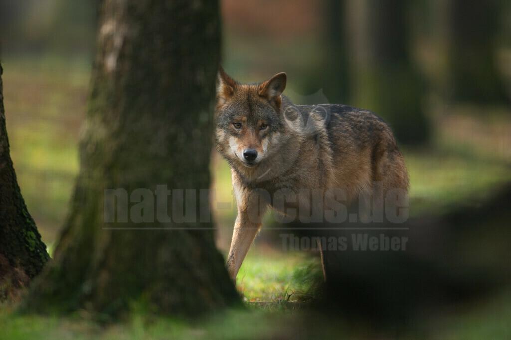 20200126-IMG_6810 | Wölfe sind sehr anpassungsfähig und bewohnen die unterschiedlichsten Gegenden, von den arktischen Tundren bis zu den Wüsten Nordamerikas und Zentralasiens. Einst war der Wolf eines der am weitesten verbreiteten Säugetierarten der Welt.