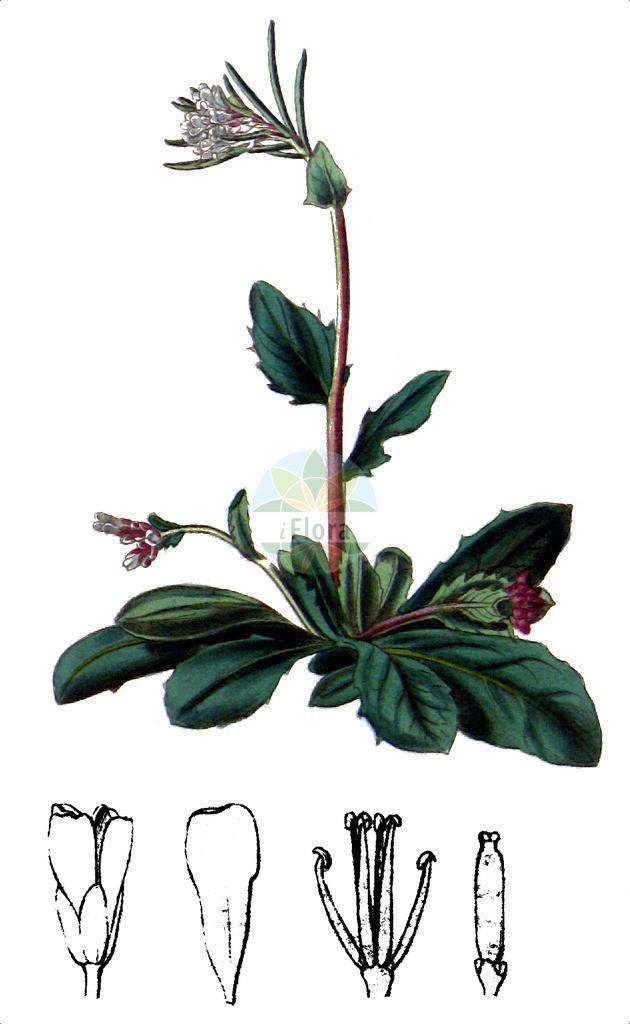 Arabis sudetica | Historische Abbildung von Arabis sudetica. Das Bild zeigt Blatt, Bluete, Frucht und Same. ---- Historical Drawing of Arabis sudetica.The image is showing leaf, flower, fruit and seed.