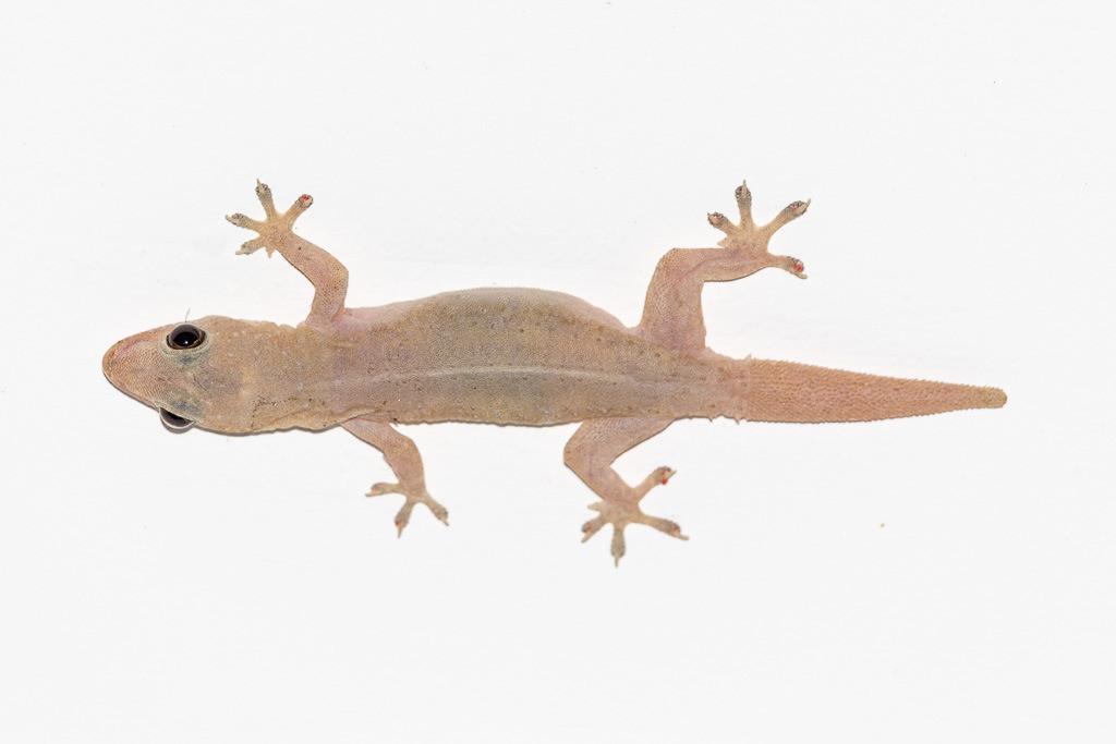 Hausgecko in Sri Lanka (Gecko)